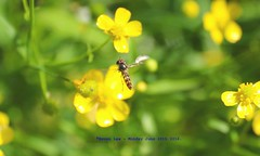 It Was All Yellow...... (law_keven) Tags: england london gardens garden insect insects hoverfly catford pondplants