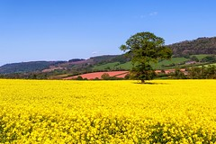 Rapeseed field (technodean2000) Tags: uk field wales nikon brecon mid lightroom rapeseed d610