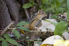 IMG_4634eFB (Kiwibrit - *Michelle*) Tags: tree grass birds woodpecker squirrel maine feeder chipmunk monmouth 2016 061916