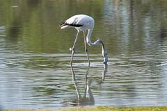 _DSC8515 (Carmen Coronado) Tags: naturaleza valencia fauna pjaros albufera sigma150500f563apodgos nikond750