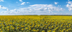 The Sea of Sunflowers (Alex Demich) Tags: sun sunny clouds cloudy cloudsstormssunsetssunrises sea sunflower sunflowers plants flower flowers agriculture field landscape nature panorama overview ukraine countryside yellow green blue horizon trees travel white summer
