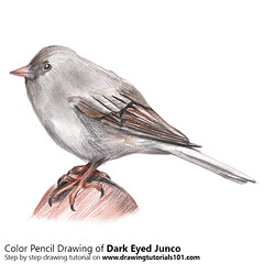 How to Draw a Dark-Eyed Junco with Color Pencils [Time Lapse] Eyed Junco is the best specie of juncos bird. Its scientific name is Junco hyemalis. We will draw Junco hyemalis in this tutorial. Step by Step Tutorial on http://bit.ly/2af0rln Total Time: 2 h (drawingtutorials101.com) Tags: sparrows american juncos dark eyed junco birds passerine sketching animals pencil drawings color coloring drawing