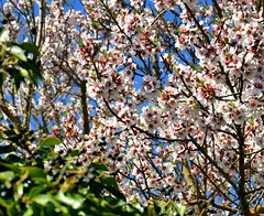 #almendros #flor #primavera #tebar (Tecumer runs away.) Tags: flor tebar almendros primavera