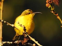 Basking Sunbird I (Mama Shaz) Tags: ingham australia tropics birds northqueensland nectariniajugularis olivebackedsunbird