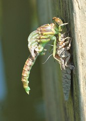 emerging - 3:22pm (hennessy.barb) Tags: dragonfly hatching emerging morphing insect