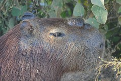 Capybara (Hydrochoerus hydrochaeris) male showing its large scent gland (the morrillo), on top of snout, exuding a substance used for territory marking ... (berniedup) Tags: pantanal transpantaneira pocon capybara hydrochoerushydrochaeris taxonomy:binomial=hydrochoerushydrochaeris morrillo