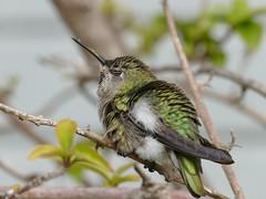 let's have a nap (Riex) Tags: sleeping napping bill beak bec hummingbird colibri hummer oiseau wings ailes feathers plumes animal bird california fz1000 leicadcvarioelmarit