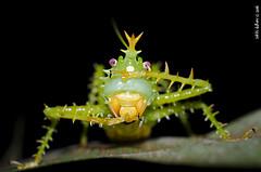 Spike-headed katydid (Sakki-Duran) Tags: naturaleza insectos detalle macro nature insect wildlife cricket spike katydid headed grillo panacanthus