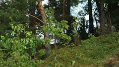 Mody dbek w borwkach (jacekbia) Tags: polska poland kurpie las forest drzewa tree borwki przyroda nature natura panorama bokehrama brenizer hugin canon 1100d ziele green jagody