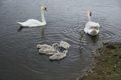 Rabbit Ings (240) (rs1979) Tags: rabbitings royston barnsley southyorkshire yorkshire pond muteswan muteswans swan swans cygnet cygnets