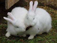 Animals24 (marcpomerol) Tags: conill conejo rabbit