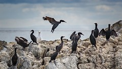 I'm not a Cormorant? (Notkalvin) Tags: birds bird gull cormorant cormorants rocks victoria notkalvin mikekline notkalvinphotography canada cruise royalcaribbean outdoor wild wildlife