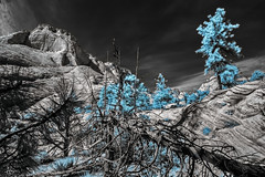 DSC_0059-EditFAA (john.cote58) Tags: ir infrared mountains rock stone geography growth outdoors outside statepark art design landscape ancient utah zionstatepark zion nationalpark trees dead spring seasons sky surreal contrast pine seaglass