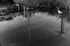 16-036_30 (gyjishukke) Tags: noiretblanc monochrome argentique analog minoltax700 50mm believeinfilm shootfilm ilford delta400 ie800iso selfdevelopment scanlowdef hc110b 10 20 grue oiseau engindechantier reflet eau tang ondulation 32 bw