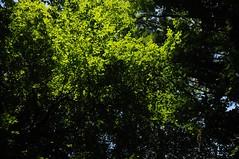 Buchenlicht (Fagus sylvatica); Bergenhusen, Stapelholm (62) (Chironius) Tags: stapelholm bergenhusen schleswigholstein deutschland germany allemagne alemania germania    ogie pomie szlezwigholsztyn niemcy pomienie gegenlicht grn laub rosids fabids buchenartige fagales buchengewchse fagaceae fagoideae buchen baum bume tree trees arbre  rbol arbres  rboles albero rotbuche  faia kayn beuken  bok  rvore aa boom trd fagus