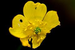 Ranunculus acris still blooming (Anki Grip) Tags: fs161009 fargstarkminimalism fotosondag yellow gul flower atutumn colourful ranunkel ranunculus blackbackground macro