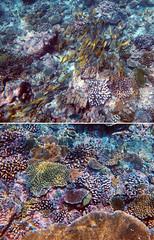 Pretty Coral (Nikita Hengbok) Tags: naturephotography fauna animals nature wildlifephotos wildlifepics wildlifephotography fishes marinecreatures marinecreaturesofmaldives macrophotography marineanimals marineanimalsofmaldives vacationinmaldives maldives sunislandresort tropicalparadise nalaguraidhooisland snorkelling snorkellinginmaldives corals coralsinmaldives