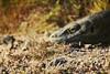 Resting Komodo Dragon (Alazhaarp) Tags: grass yellow canon island eos warm dragon bokeh reptile dry lizard rest komodo naga kadal litely