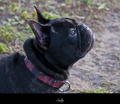 Sully (cj howitt) Tags: ontario dogs portraits calendar kingston dogpark