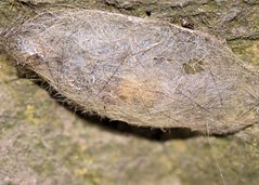 cocoon? (laurie_frisch) Tags: mystery bug insect egg sac insects iowa bugs case structure rapids trail cedar fox unknown
