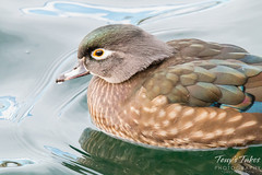 Female wood duck close up