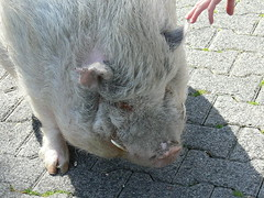 Göttinger Minischwein (Sus scrofa domestica) P1620613 (martinfritzlar) Tags: opelzoo zoo kronberg tiere säugetiere schweine minischwein sus tier haustier säugetier paarhufer schwein hausschwein göttingerminischwein suidae susscrofadomestica mammal pig minipig