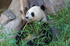 "Bai Yun smiling (kent.c) Tags: china usa canon us panda sandiego bamboo sd socal endangered southerncalifornia sandiegozoo balboapark endangeredspecies sdzoo panda"" ""female kentc canon5dmarkiii 5dmarkiii zoohabitat ""bai kentcphotography yun"""