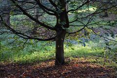 Last rays (pauldbrown) Tags: autumn sunlight tree fall island branches isleofwight trunk fallenleaves iow mottistone mottistonemanor