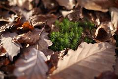 11164459 (BS-Foto) Tags: leica autumn brown green fall leaves forest automne 50mm leaf bokeh herbst samsung vert grn braun blatt marron wald bltter foret summilux brun 50mmf14 nx nx200 summilux50mm summiluxr reinhartshausen samsungnx200 bsfoto