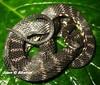 ninia psephota (Juan Gabriel Abarca Alvarado.) Tags: costa rica ninia serpientes psephota