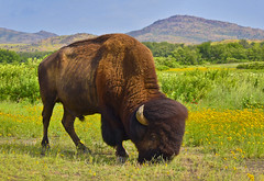 buffalosoldier (Skip Hunt) Tags: wild oklahoma nature photography buffalo nikon plains wichita skiphunt d5300