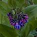 mertensia virginica, ouryard, jdy097 XX200904073969.jpg