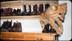 Jump, Boo the Pomeranian. (CWhatPhotos) Tags: pictures original dog pet love feet leather yellow that boot foot photo pom foto with hole boots little photos 10 lace dr air picture 8 wear boo collection have doctor footwear fotos pairs stitching z comfort pooch pomeranian sole doc cushion marten which soles dm docs laces contain drmartens bouncing airwair docmartens welt martens dms laced 1460 drmarten 1490s cushioned wair yellowstitching cwhatphotos 1460s1490