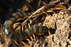 Escolopendra (Scolopendra cingulata) (http://blainatura.wordpress.com) Tags: escolopendra invertebrados miriápodos scolopendracingulata