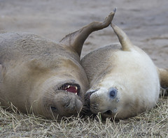 Grey Seal Mother and Pup (aerial2) Tags: seal donnanook mywinter