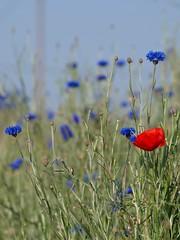 Un rouge chez les bleus ** (Titole) Tags: bluesky poppy cornflower bleuets coquelicot friendlychallenges thechallengefactory titole nicolefaton