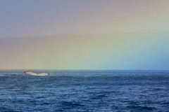 Humpback Whale rainbow (scott1e2310) Tags: ocean blue underwater diving freediving southpacific scubadiving whales humpbackwhale tonga