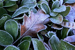 909e  frosty icing (jjjj56cp) Tags: winter cold macro ice leaves frost hoarfrost frosty icy outlined wintry rimmed jennypansing