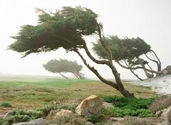 The Wind (JCLittle Photography) Tags: carmelca contax645 film fuji400h jclittlephotocom monterey porta400 zeiss80mmf20 rrs bokeh pebblebeach wind windblown contax