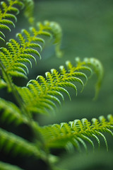 frond (keith midson) Tags: fern green forest leaf sony frond 55mm mersey fd f12 nex nex5