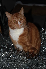 Cats and tinsel 2014 (SteveRotherPhotography) Tags: christmas xmas cats cute animal animals cat ginger kitten feline pussy tinsel aww gingercat mog moggy gingerpussy
