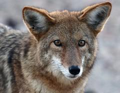 Coyote (Canis latrans) (Ron Wolf) Tags: california coyote nature mammal nationalpark desert wildlife explore deathvalleynationalpark carnivora canidae canislatrans