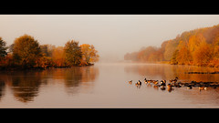 Gänse im Herbst (mkniebes) Tags: morning autumn trees cold color reflection fall nature water yellow fog river germany landscape dawn geese nebel riverside herbst ducks enten bochum morgen ruhr