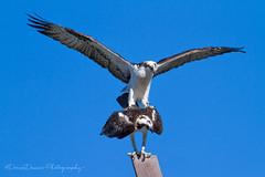 Osprey Mating (DeniseDewirePhotography) Tags: bird san wildlife mating sanctuary irvine osprey birdofprey joqauin