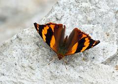 Bolivian Banner (Epiphile boliviana) - Bolivian Banner, Guacamayos, Ecuador (Terathopius) Tags: ecuador nymphalidae guacamayos epiphileboliviana bolivianbanner
