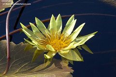 0693Fall11 (Robin Constable Hanson) Tags: tropicalyellowwaterlilywaterflowerfloralflora