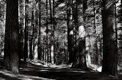 NIK_7980 (nikdanna) Tags: trees blackandwhite nature alberi woods pentax natura bianconero bosco interno7 nikdanna