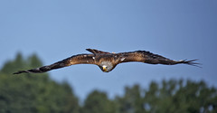 Red kite in approach (pe_ha45) Tags: raptor redkite greifvogel milanroyal rotmilan milhafrereal nibbioreale mivusmilvus