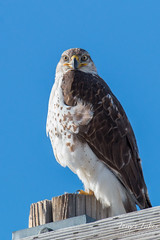 The stare of a Ferruginous Hawk