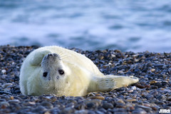 Seal pup, Robbenbaby, grey seal, Kegelrobbe, Halichoerus grypus @ Helgoland, Heligoland in december 2014 (Jan Rillich) Tags: sea baby sun white nature beautiful beauty animal fauna digital photography eos grey photo spring sand flora december foto fotografie image jan wildlife dune picture free sunny insel seal pup northern dezember eastern nordsee sandstein robbe düne küste halichoerusgrypus grayseal 2014 howler greyseal helgoland sealpup animalphotography northernsea heuler buntsandstein nordseeküste seerobbe heligoland kegelrobbe halichoerus grypus robbenbaby hundsrobbe janrillich rillich babyrobbe